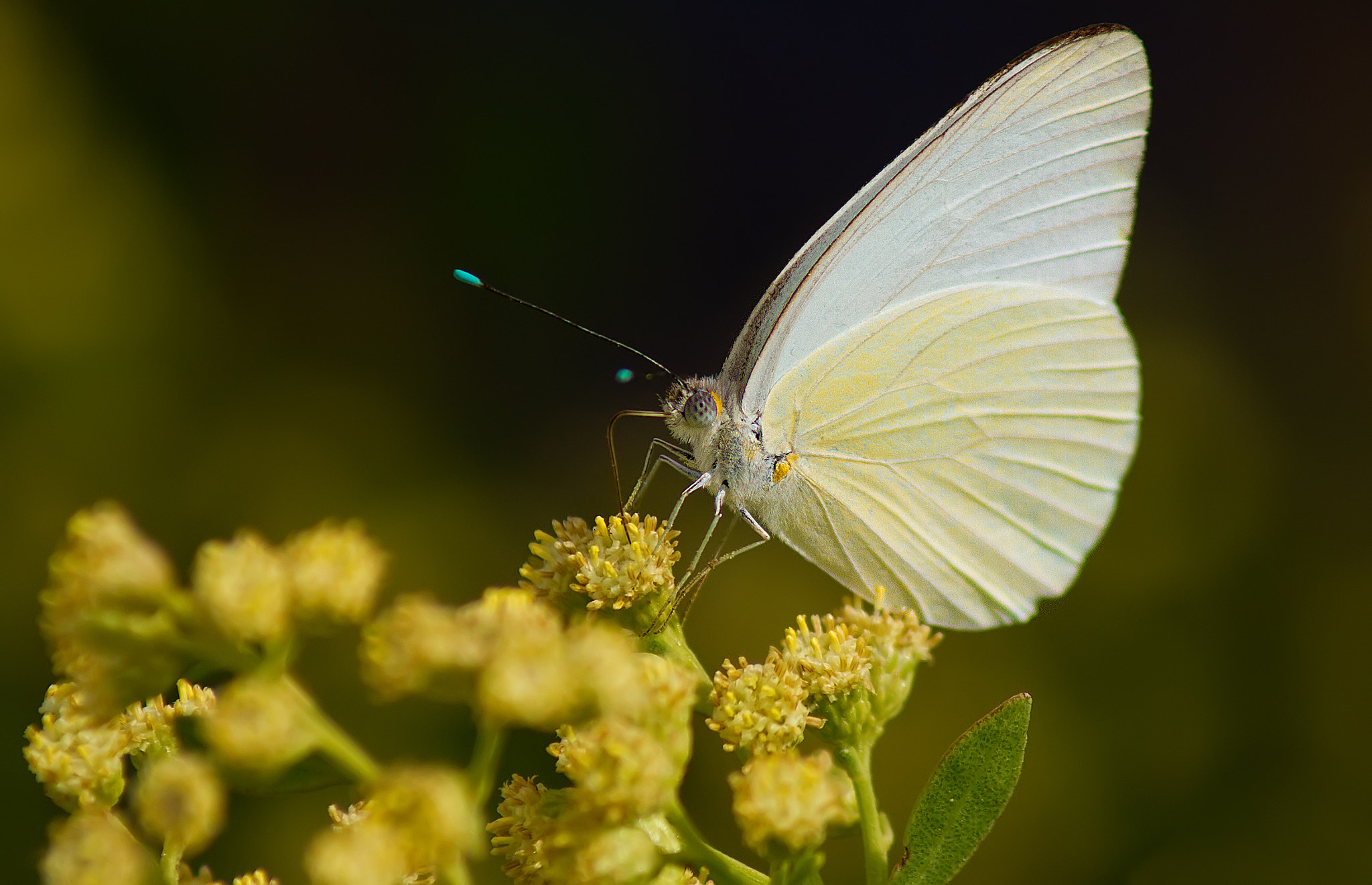 Photograph Great Southern White by Scott Helfrich on 500px