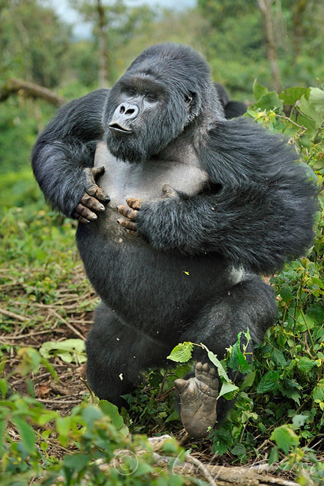 Photograph Silverback Charge by Andy Rouse on 500px