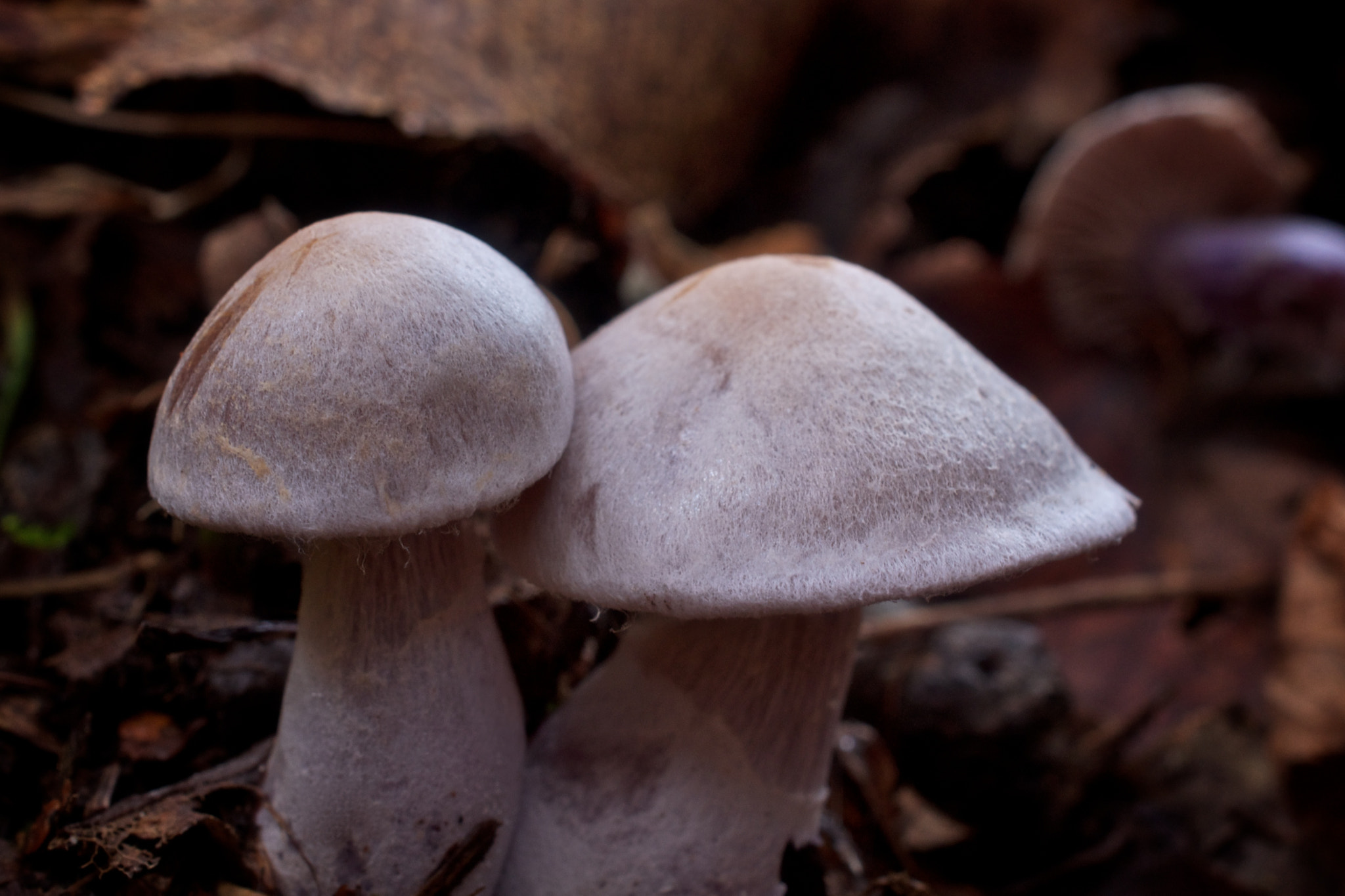 Photograph Cortinarius by Cory Zanker on 500px