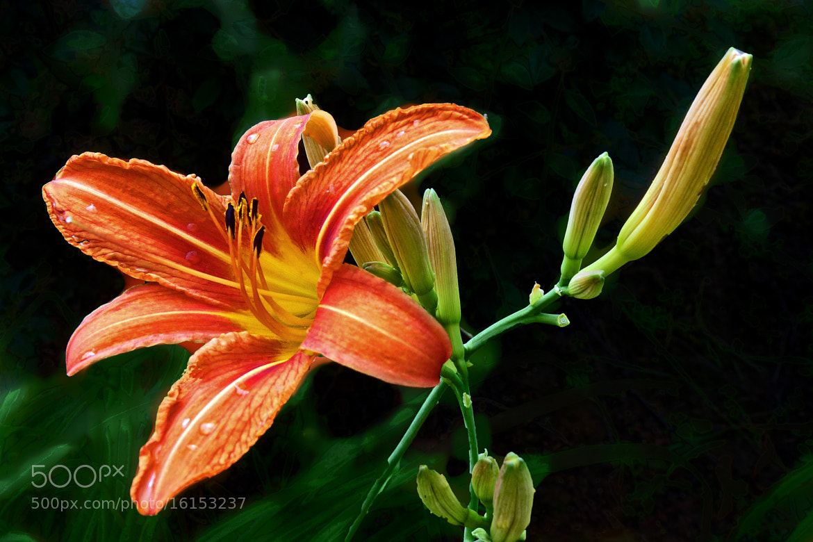Photograph Hemerocallis by Cecile Hoang-Cong on 500px