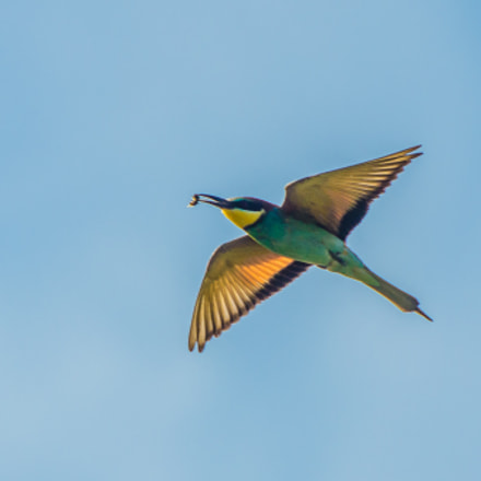 Colorful bee eater, Nikon D5100, Sigma 135-400mm F4.5-5.6 APO Aspherical