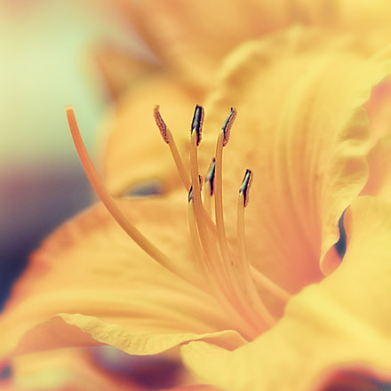 Yellow Lily, Canon EOS REBEL T4I