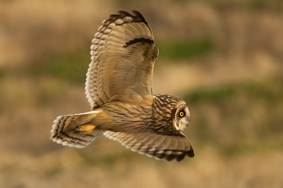 Photograph Short-eared owl by Kazuo Shinohara on 500px