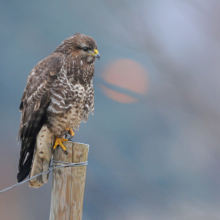 Common buzzard, Nikon D300S, AF-S Nikkor 600mm f/4D IF-ED
