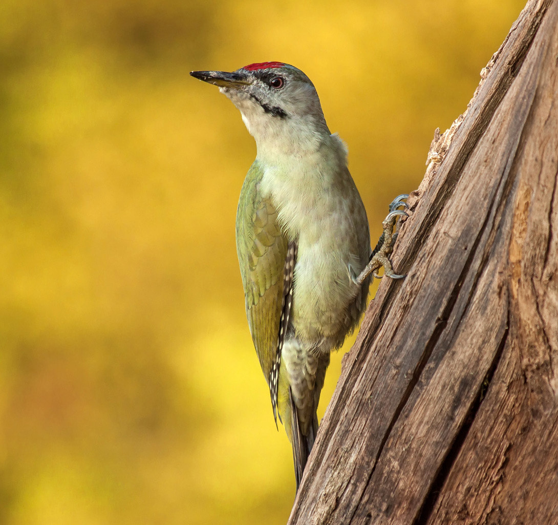 Photograph Grey-headed Woodpecker (Picus canus) by Koraljka S on 500px