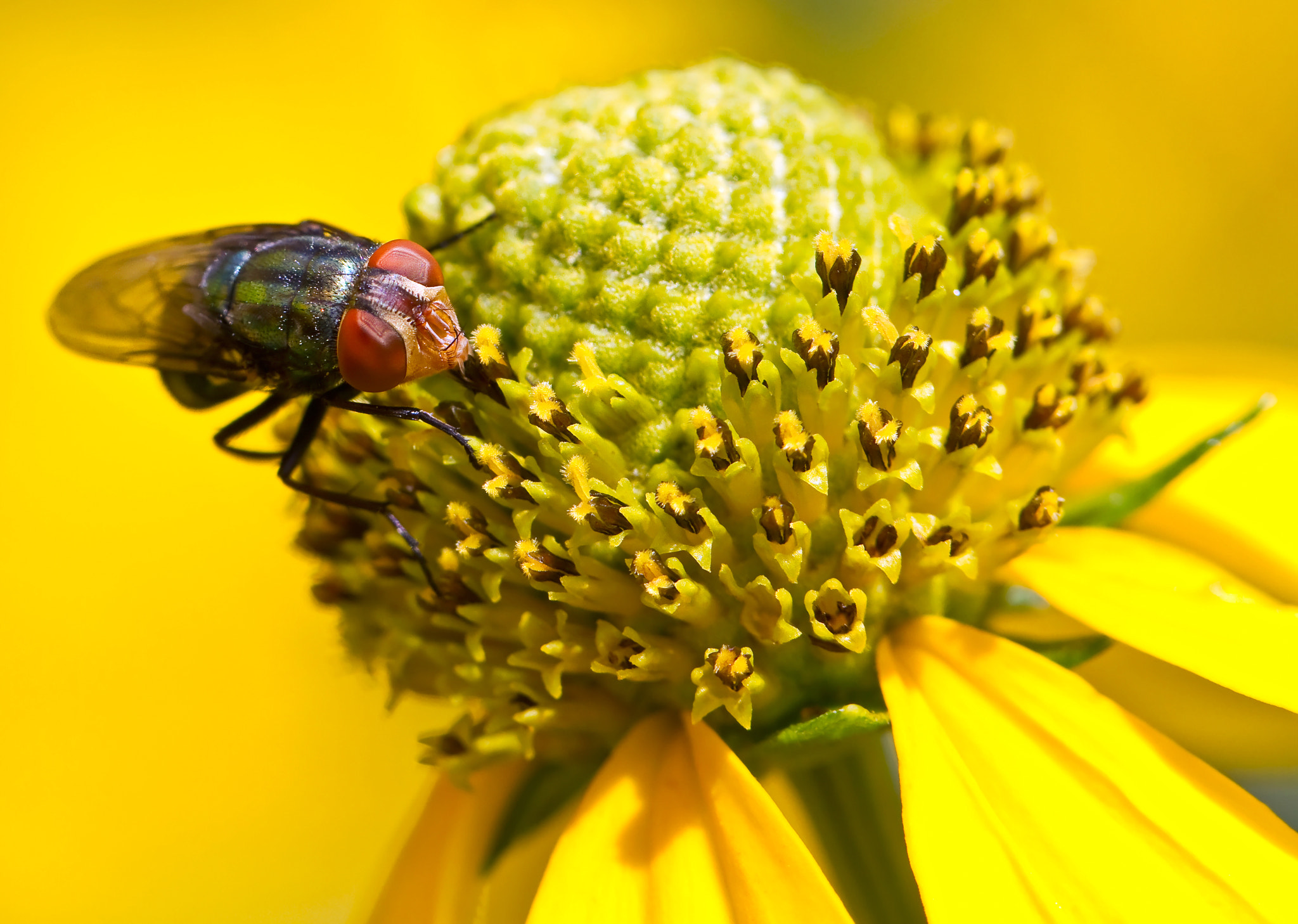 Photograph Fly On Flower by Lorraine Hudgins on 500px