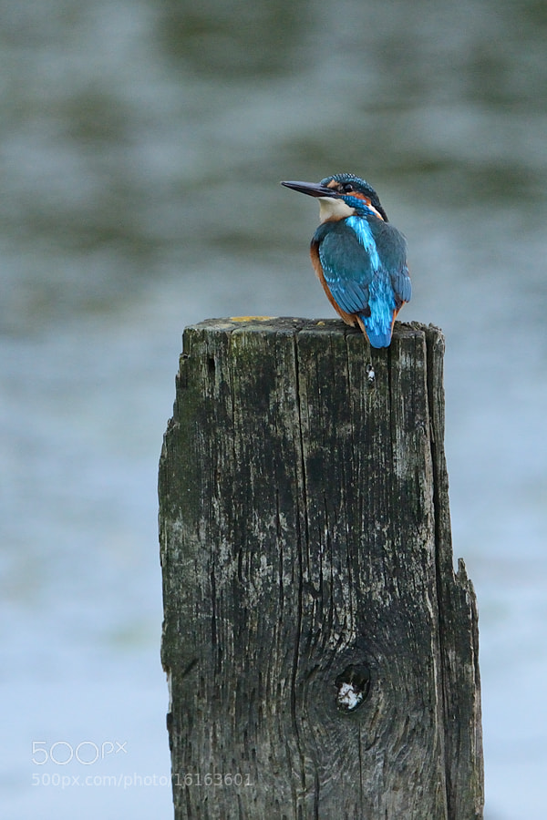 Photograph Kingfisher at dawn by Erik Veldkamp on 500px