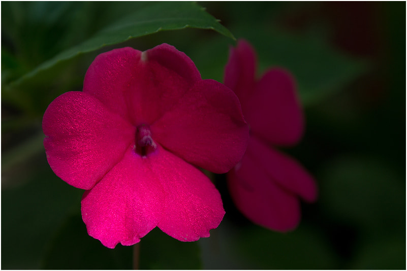 Photograph Impatiens balsamina by Viktoria Imanova on 500px