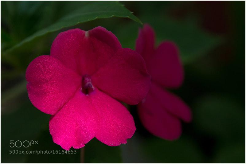 Photograph Impatiens balsamina by Viktoria Imanova on 500px