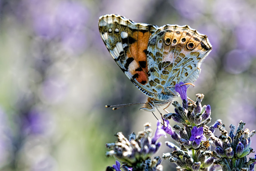 Butterfly in Lavender I by John Kimbler on 500px.com