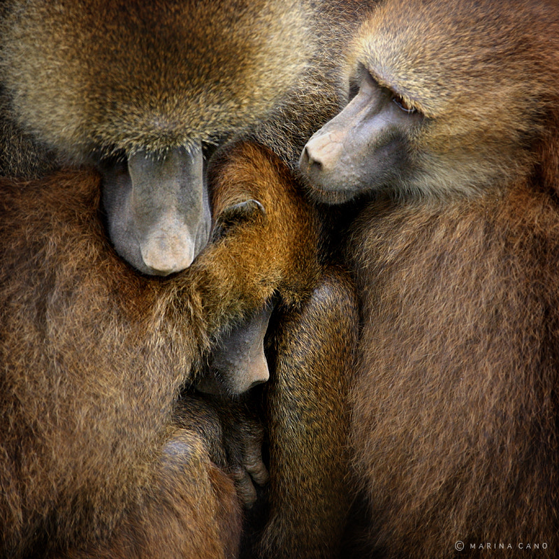 Photograph Baboons  by Marina Cano on 500px