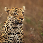 Ingwe is the Zulu word for Leopard.  This particular leopard is a female, called Rockfig Jr.  We had a terrific morning watching, photographing and videoing her.
