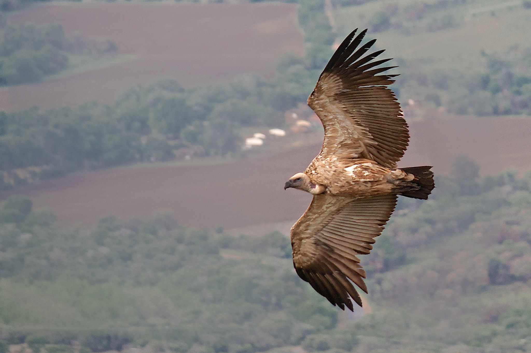Photograph Banking Turn - Cape Vulture by Chris vd Merwe on 500px