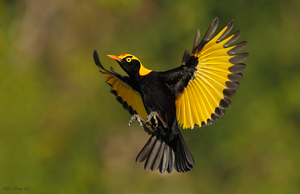 Photograph Regent Bowerbird male by Ofer Levy on 500px