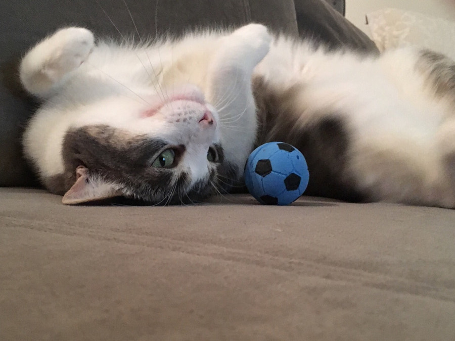 500px.comのAutumn DeSellemさんによるPenny the soccer cat