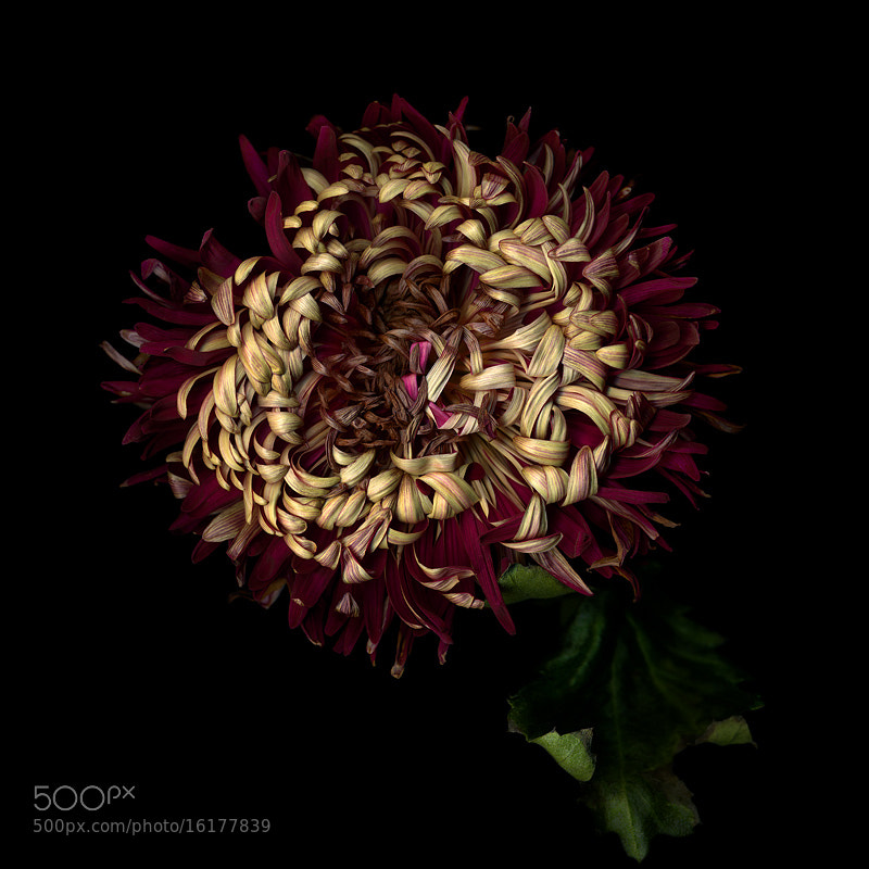 Photograph THE TEMPORAL BEAUTY...of THE CHRYSANTHEMUM... by Magda Indigo on 500px