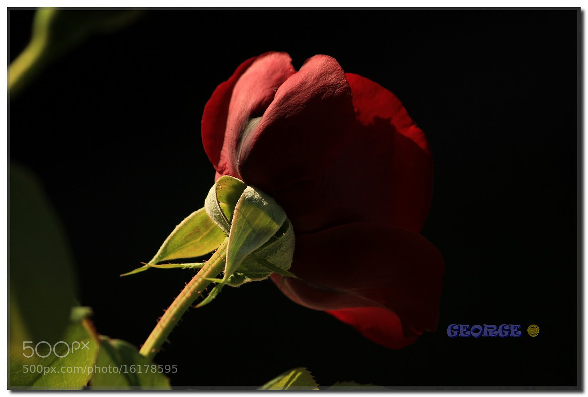 Photograph Red Rose flower passion by George @ papaki on 500px