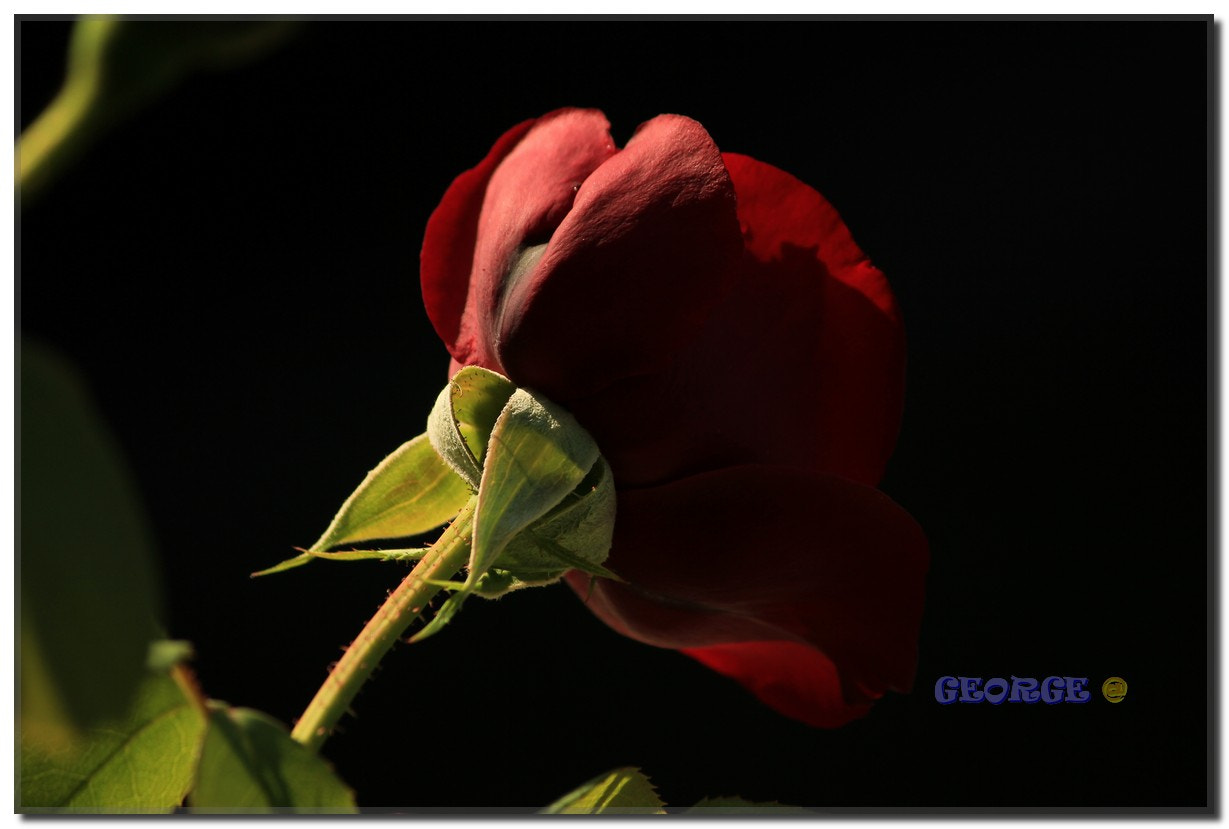 Photograph Red Rose flower passion by George @  on 500px