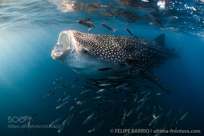 Photograph Whale shark by Felipe Barrio on 500px