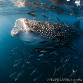 Whale shark by Felipe Barrio on 500px.com