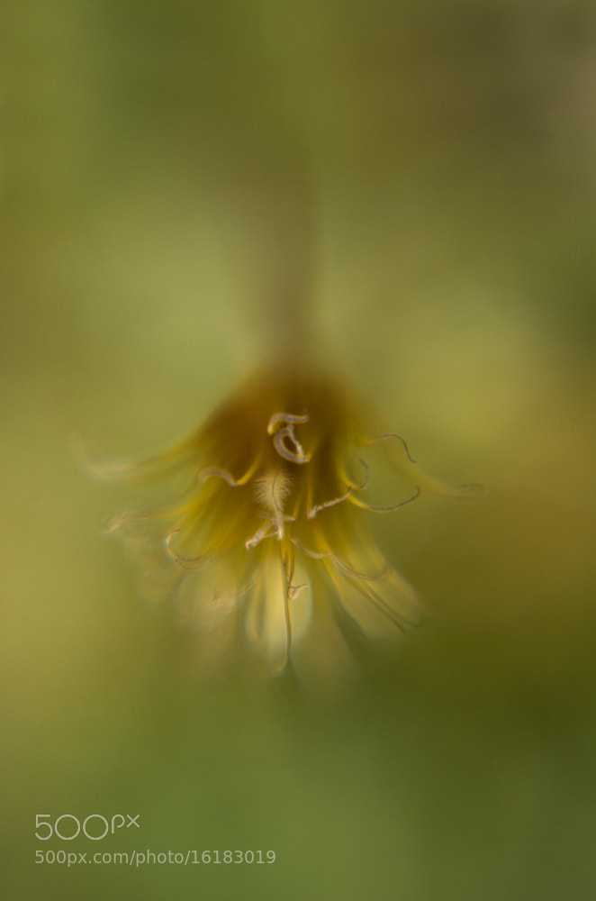 Photograph Golden clematis by Penny Myles on 500px
