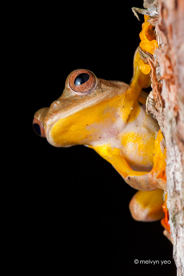 Photograph Twin Spotted Flying Frog by Melvyn Yeo on 500px
