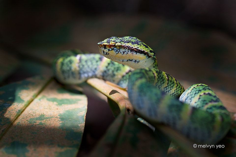 Photograph Wagler's Pit VIper by Melvyn Yeo on 500px