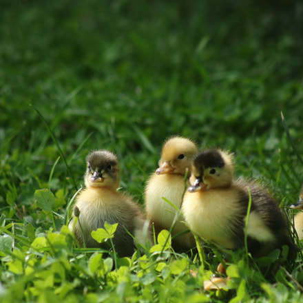 Day old ducklings exploring, Canon EOS 750D, Canon EF 75-300mm f/4-5.6 USM