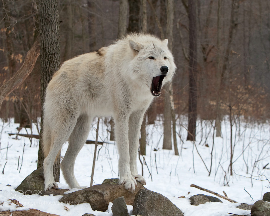 A lone wolf howls to announce his presence.  Taken at the Lakota Wolf Preserve in Columbia, New Jersey.