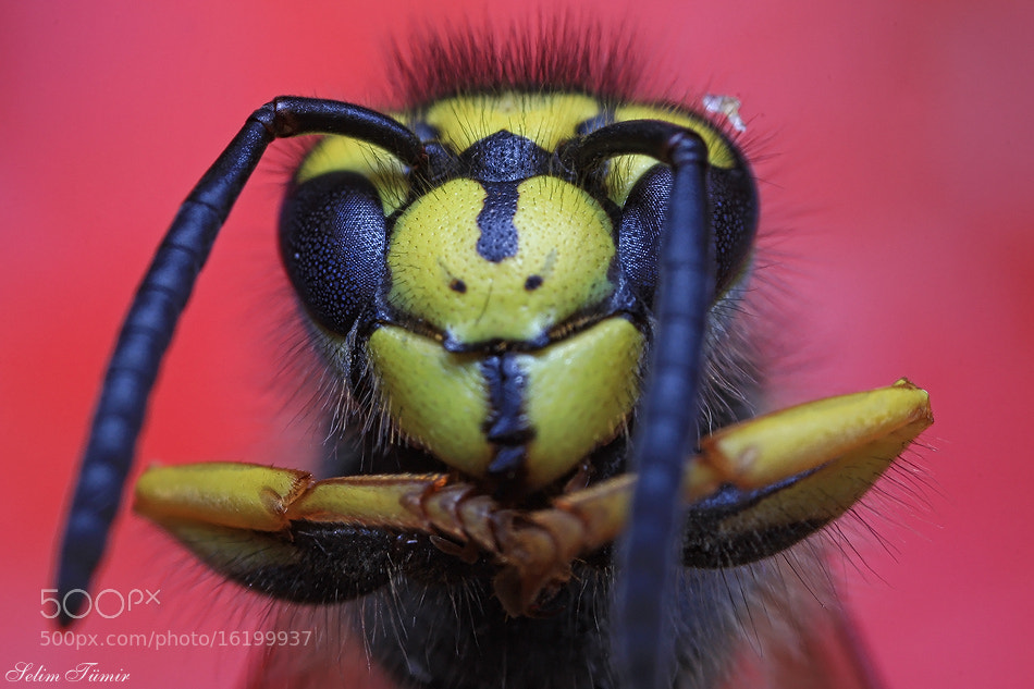 Photograph wasp by selim tümir on 500px