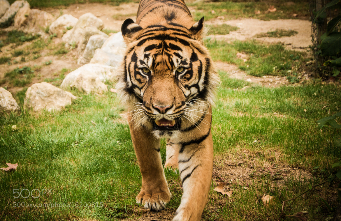 Photograph Eye of the tiger. by Tiago Pedrinho on 500px