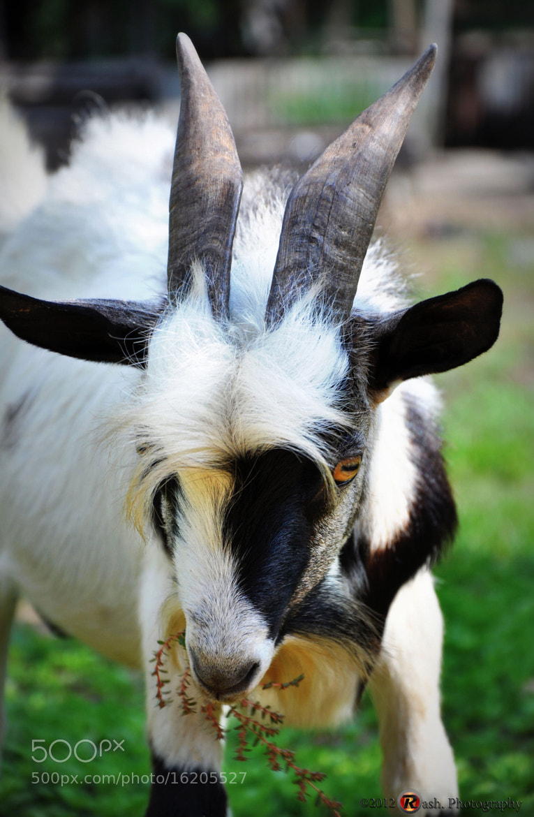 Photograph Grandpa`s goat by Fadiel Baksoellah on 500px