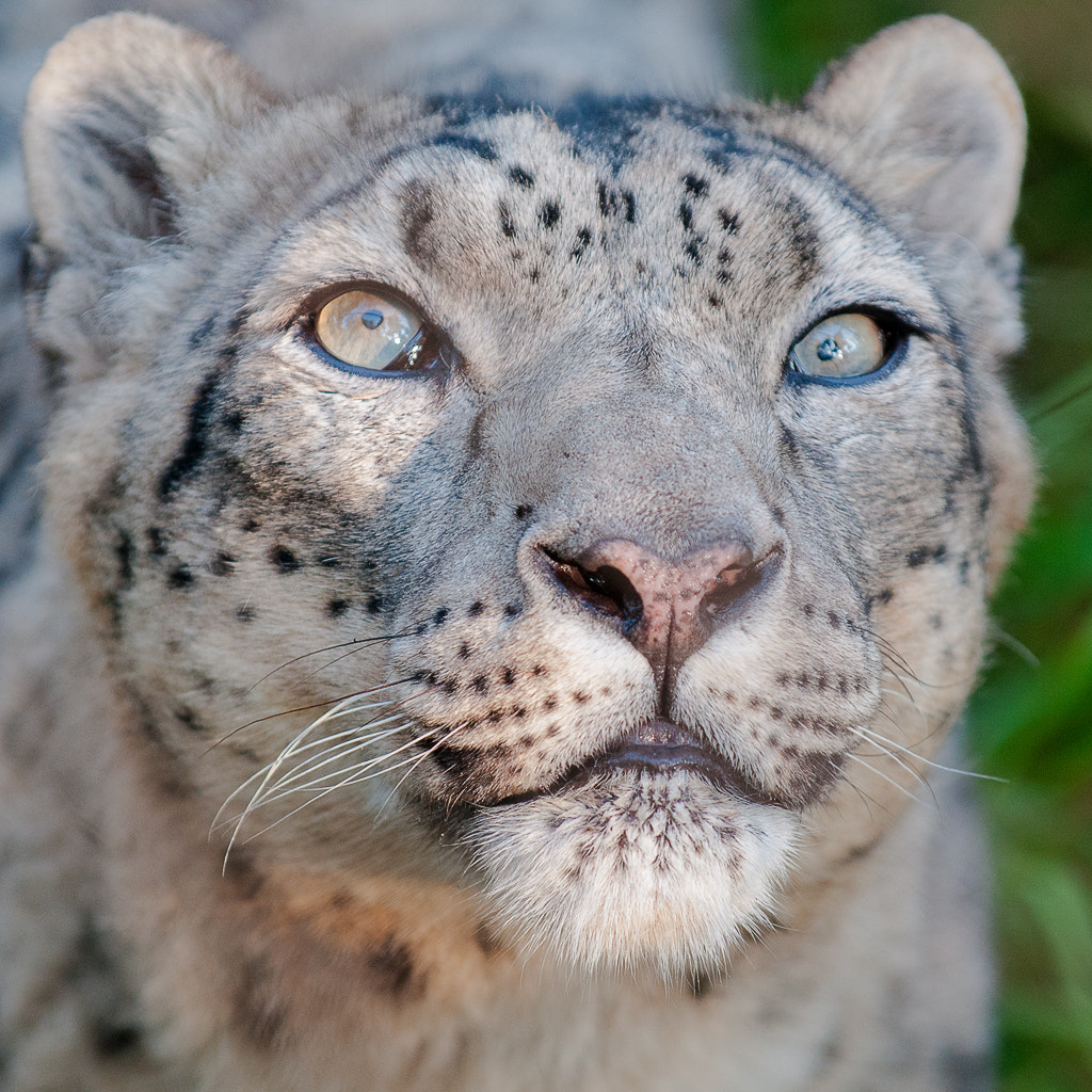 Photograph Snow Leopard - up close by Dieter Schaefer on 500px
