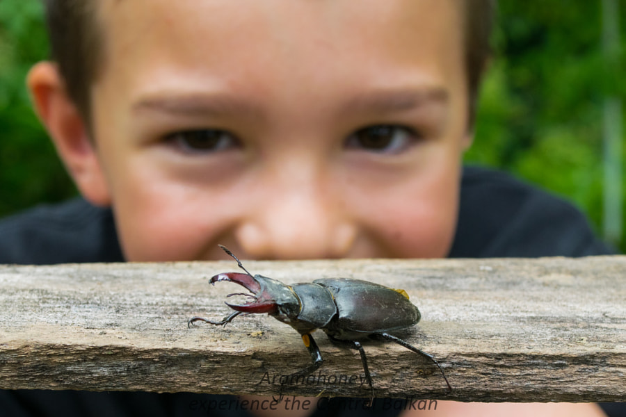 Stag beetle by Julien van Dommelen on 500px.com