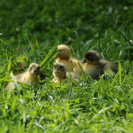 Newly hatched ducklings, Canon EOS 750D, Canon EF 75-300mm f/4-5.6 USM