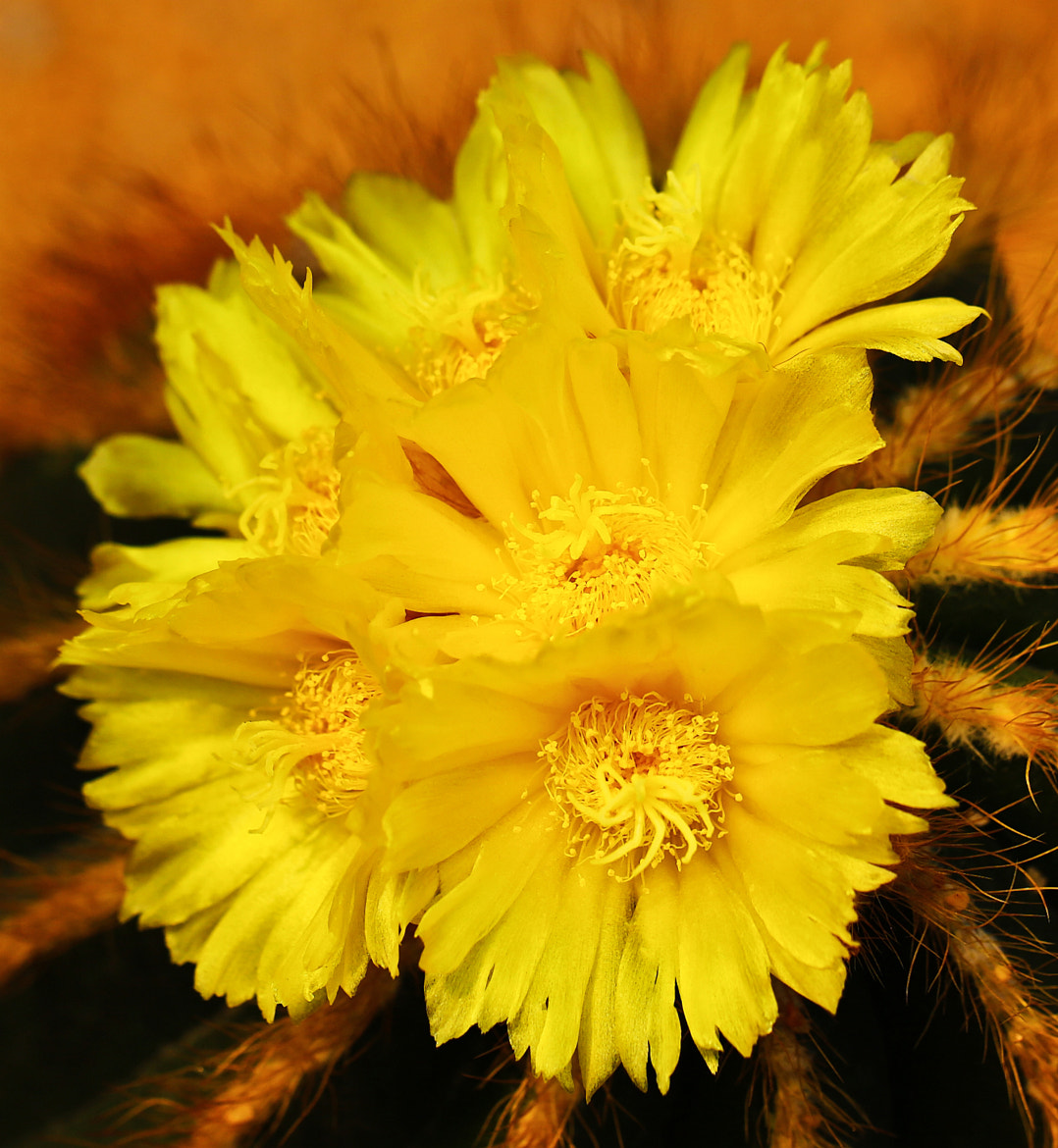 Photograph prickly pear flower by Qi Zhi on 500px