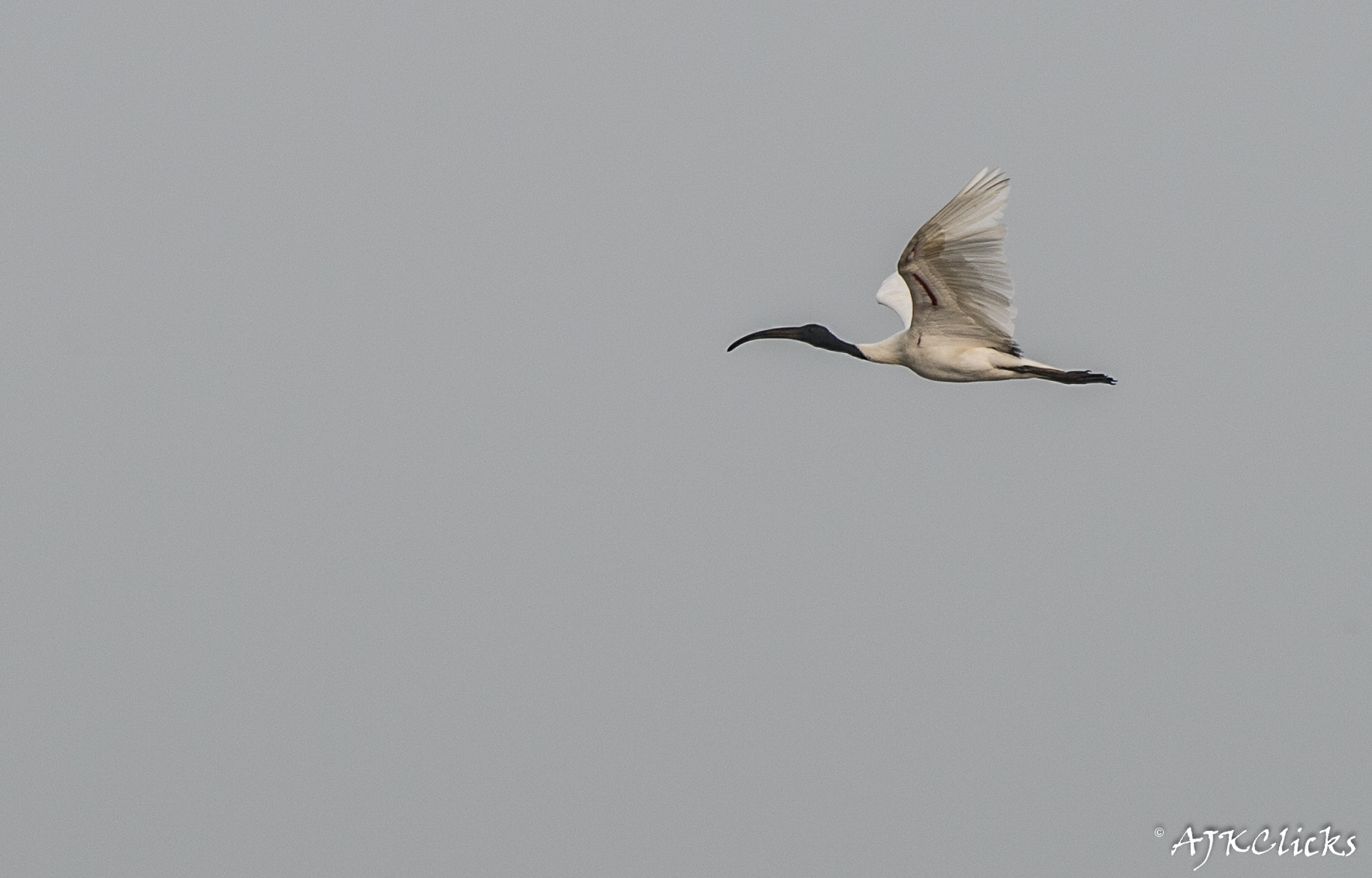 Photograph Black Headed Ibis in Flight by AJK Clicks on 500px