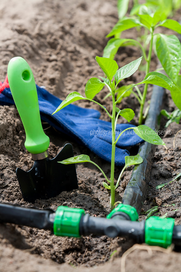 Young sprouts pepper and garden tools with drip irrigation by Victoria Kondysenko on 500px.com