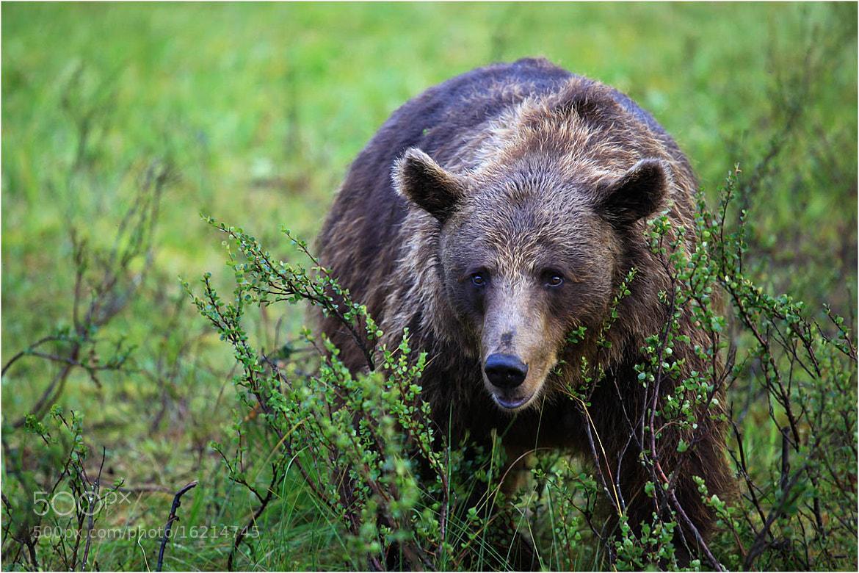 Photograph Finnish bear ... by Valtteri Mulkahainen on 500px