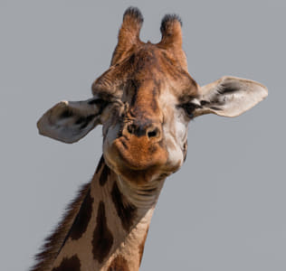 Goofy Giraffe Chewing