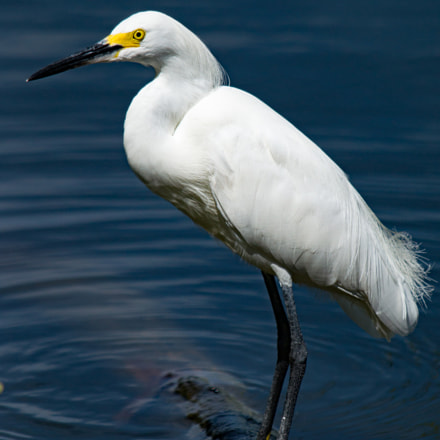Snowy Egret By Lake, Sony SLT-A57, Tamron SP AF 200-500mm F5.0-6.3 Di LD IF