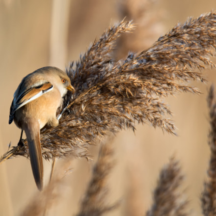 Female bearded tit