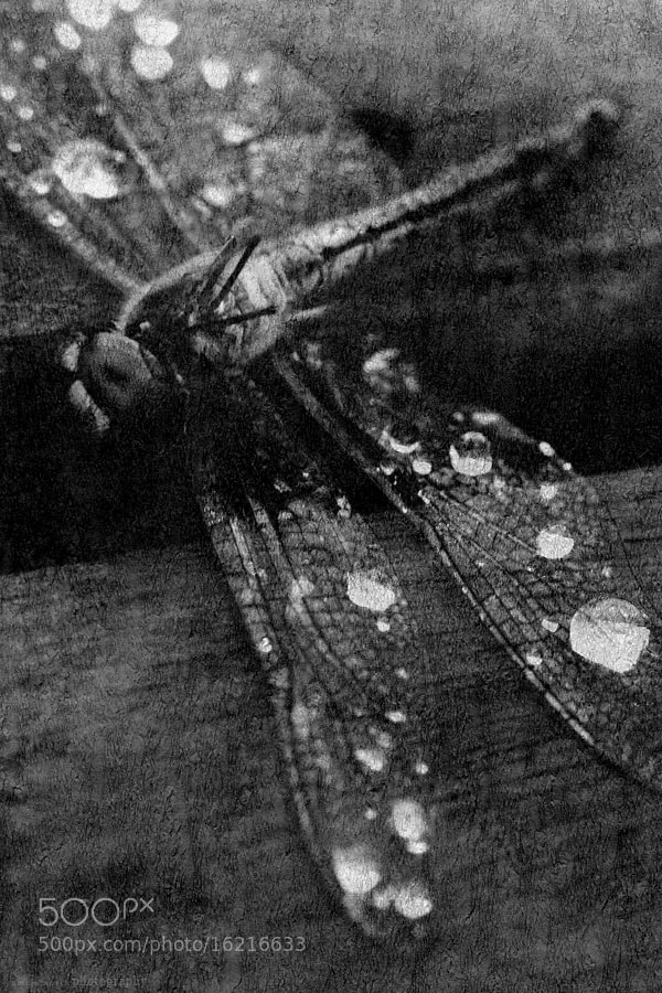 Photograph The dragonfly by Pamela North on 500px
