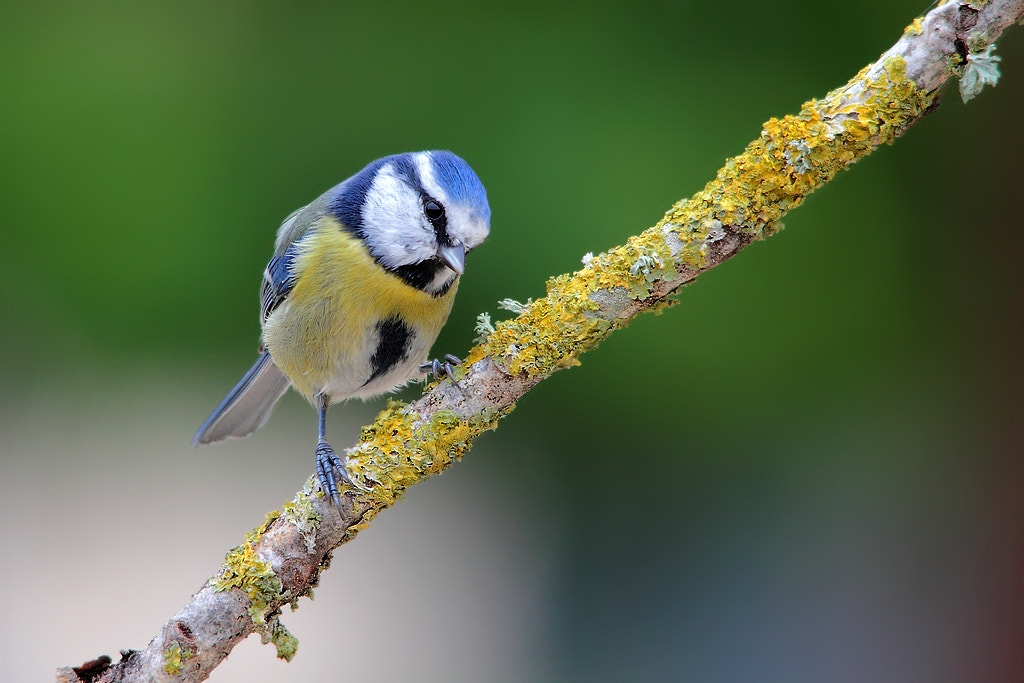 Photograph disco blue tit by wise photographie on 500px