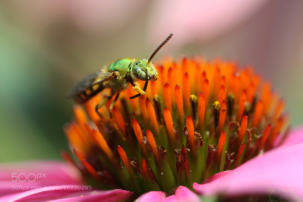 Photograph Green Bee Hungry by Kenneth  Maurer on 500px
