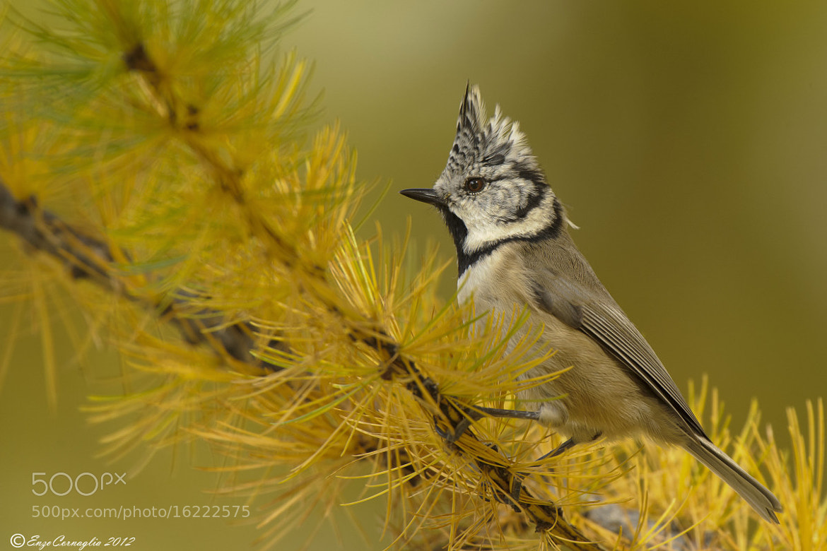 Photograph Crested Tit by Enzo Cornaglia on 500px