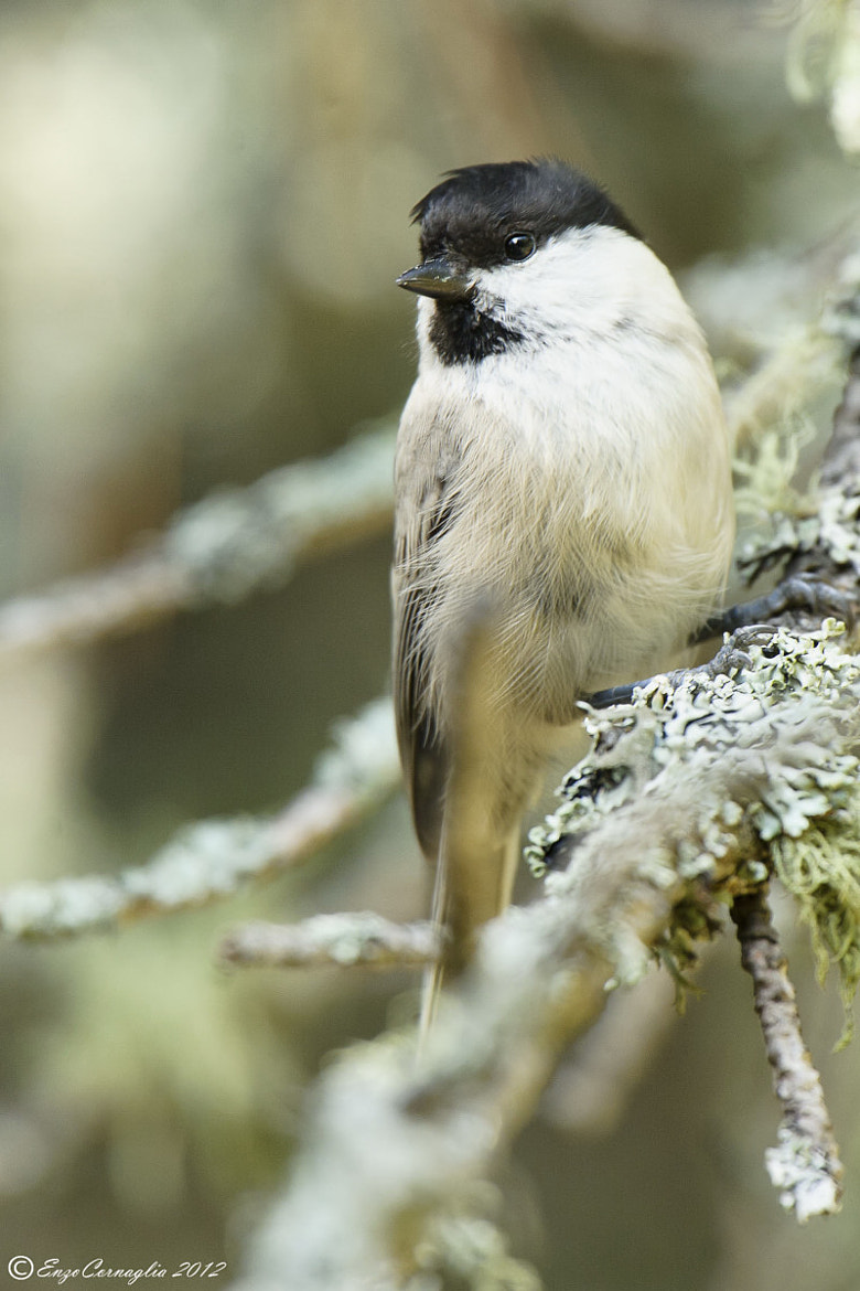Photograph Willow Tit by Enzo Cornaglia on 500px