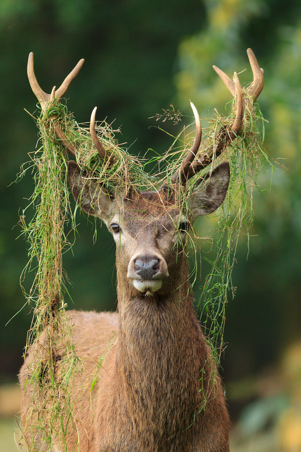 Stag by Robert Kelly on 500px.com