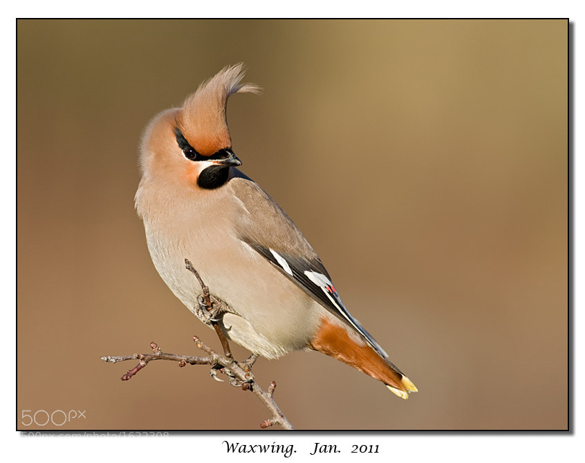 Photograph WAXWING by Tony Flashman on 500px
