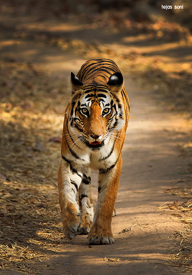 Photograph tigress by Tejas Soni on 500px